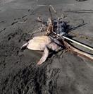Tartaruga caretta caretta rimane impigliata a Marina di San Nicola, le Guardie Zoofile Enpa la salvano